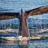 Whale tail off the coast of VA Beach