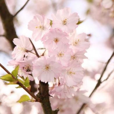 virginia beach event cherry blossom festival