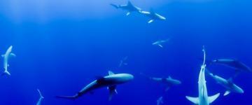 virginia beach shark attacks
