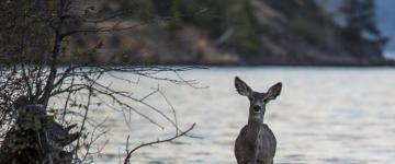 Virginia Beach Paddle Boarder rescues baby deer.